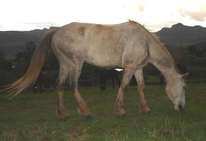 horses koos